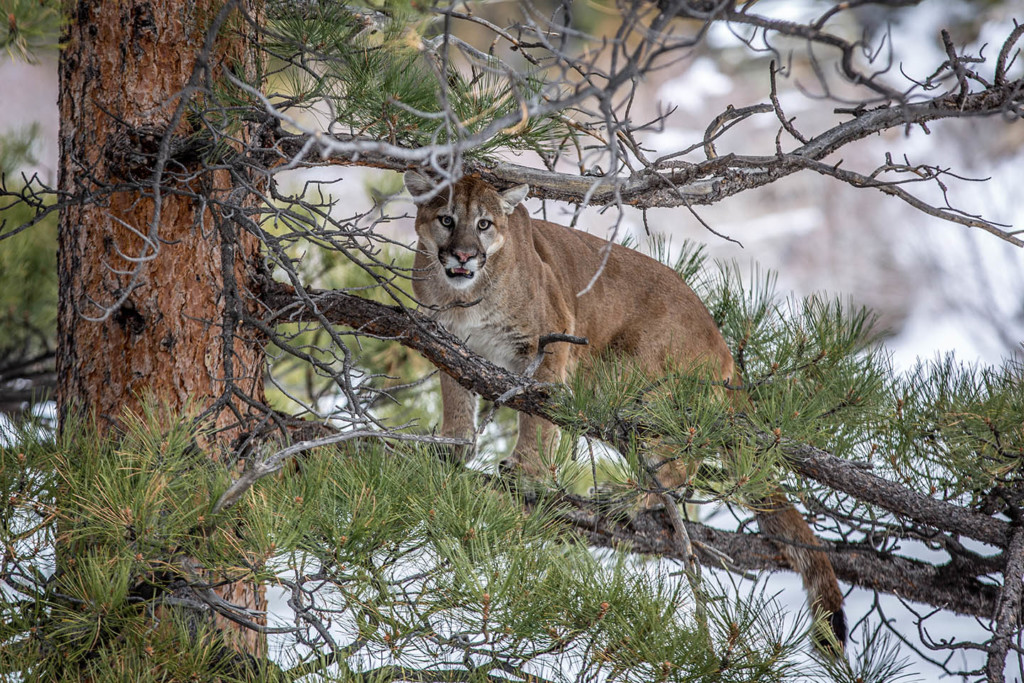 Mountain lion treed in a Ponderosa