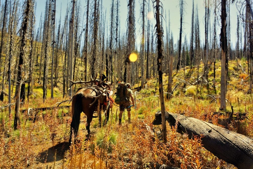 Packing out elk with horse through burn