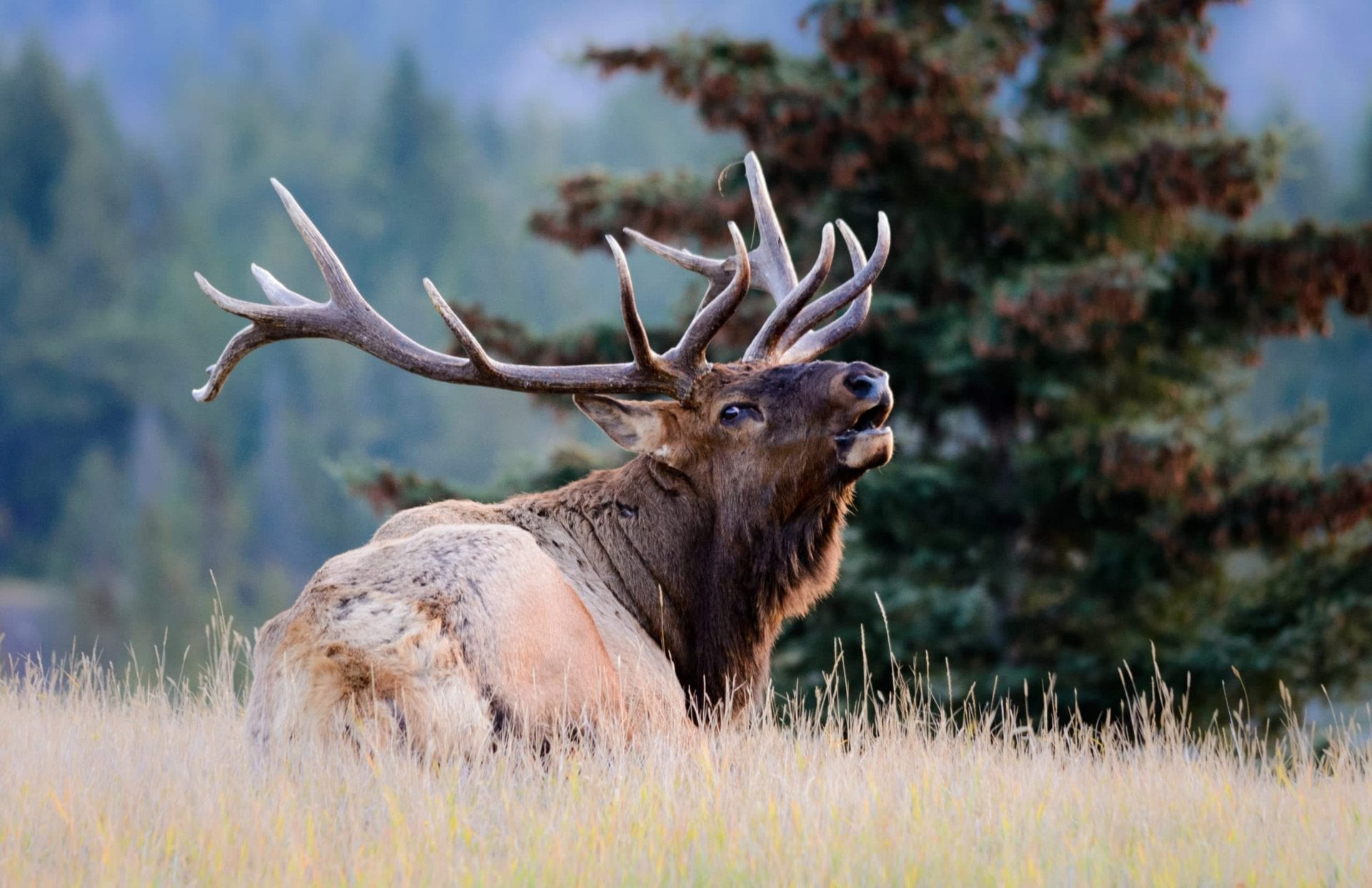 Elk Hunting Guide to Success » Outdoors International